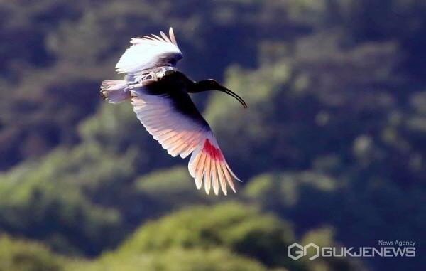 (사진제공=창녕우포늪 사진작가 장기헌) 지난해 자영방사한 따오기가 창녕 우포늪을 날고있다.