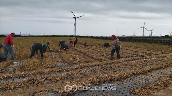 22일 제주도 농축산식품국은 구좌읍에 소재한 마을 수확농가를 방문해 농촌 일손돕기 봉사활동을 전개했다.