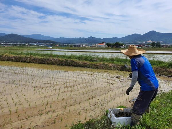 최근 포항시 북구 기계면 한 농민이 친환경 벼 재배단지에서 왕우렁이 종패를 자신의 논에 살포하고 있다. (사진 = 포항시 제공)