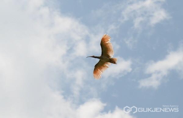 (사진제공=창녕군) 28일 제2회 창녕군 따오기 야생방사후 따오기가 하늘높이 날고있다.