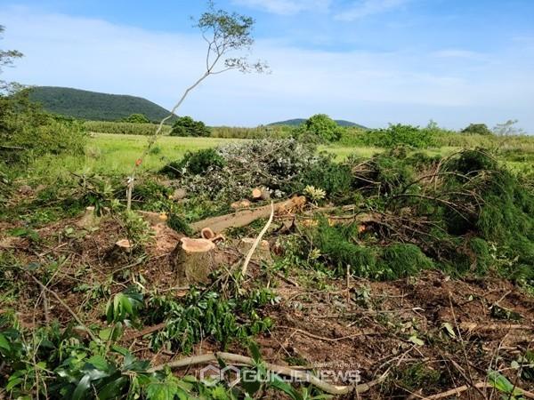 27일 제주도는 지난 비자림로 확장공사 계획 구역 중 제2구간 중 제2대천교~세미교차로 1.36㎞ 구간에 있는 삼나무 벌채 공사를 시작했으나 환경단체의 반대로 또 다시 공사를 중단했다.