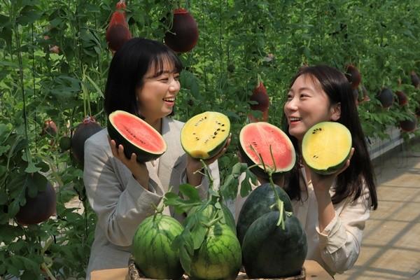 (사진제공=사천시) 사천시농업기술센터가 미니수박을 재배해 선보이고 있다.