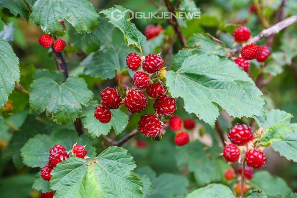 포항장기한농장에서출하전탐스럽게익은산딸기(사진김진호)
