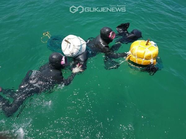 포항시에서 준비한 해삼 종자를 어촌계 해녀가 바다에 방류하고 있다. (사진 김진호)