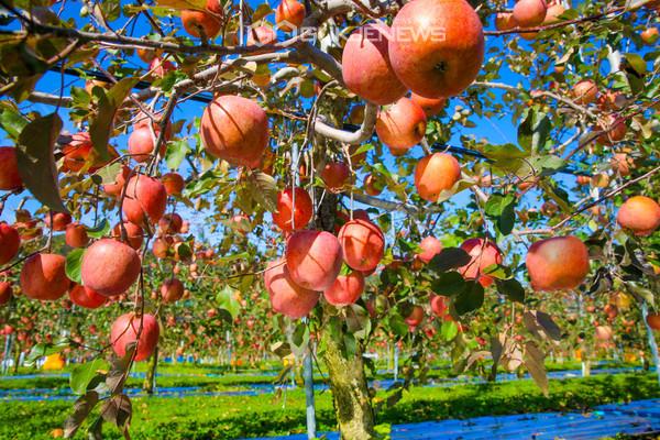 포항시 죽장면 상옥리에 있는 한 농장에서 지난해 탐스럽게 익은 포항 사과(사진 포항시)