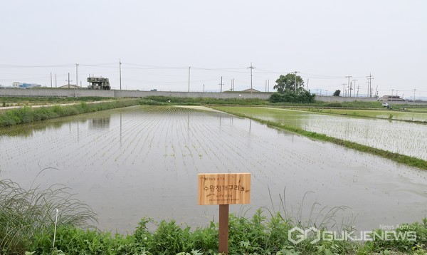 사진=친환경 농법을 활용해 경작 중인 논(권선구 평리동)