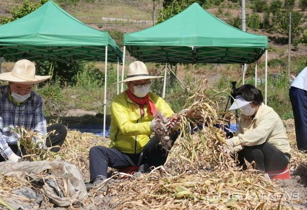 (사진제공=창녕군) 2일 창녕군 유어면 미구리 일원에서 한정우 창녕군수 등 직원 20여명이 봄철 농촌일손돕기 마늘 수확 작업을 진행하고 있다