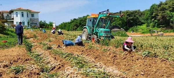 청양군 일해백익 '칠갑산 맛나마늘' 수확하는 모습