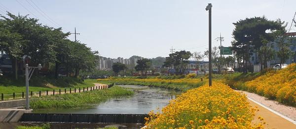 홍성읍오관리홍성천에노란'금계국'이활짝피어지역주민들의호응을받고있다.