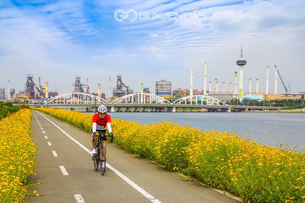 포항 형산강 강변 자전거길에 만개한 금계국(사진 김진호)