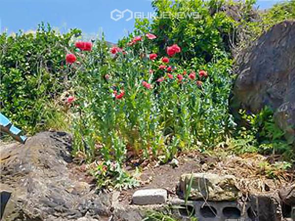 포항 어촌에서 재배된 양귀비(사진 포항해경)