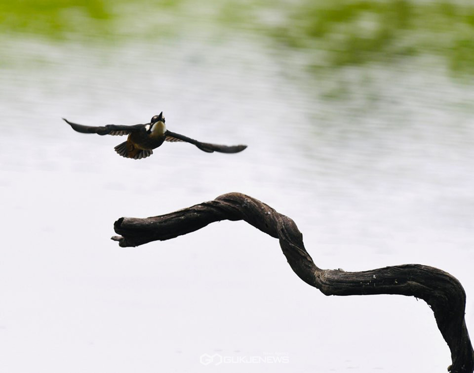 [동물의 세계] 비상하는 물총새