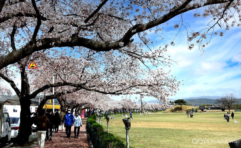 경주첨성대 벚꽃길 (국제뉴스DB)