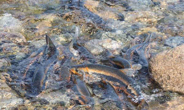 산란기를맞아영일만에서포항시남구냉천으로올라온황어떼모습(사진=포항시)