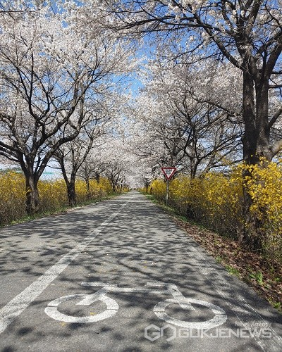 만개한 보청천 벚꽃길.(제공=보은군청)