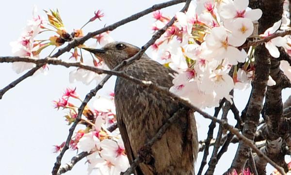 직박구리 벚꽃-꽃샘추위 (국제뉴스DB)