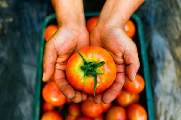 농식품부·농협, 과채가격 안정을 위한 과채수급안정사업 추진!