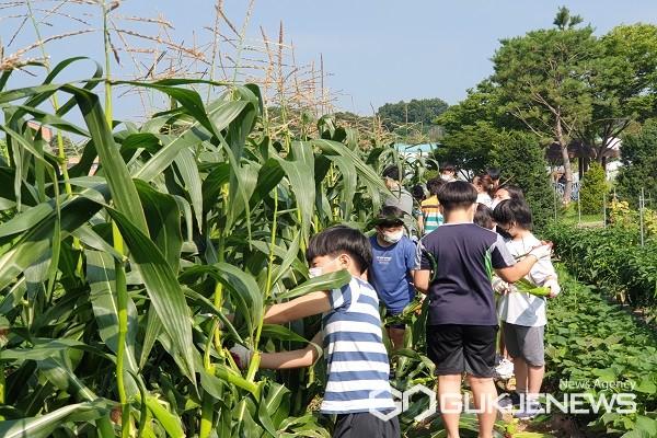 학생들이 학교 내 '꿈자람 친환경 텃밭'에서 탐스럽게 자란 옥수수를 따고 있다.(제공=청주교육지원청)