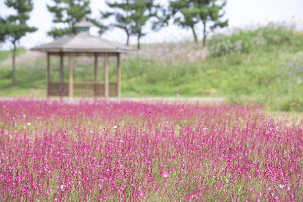 (사진=익산시) 용안 생태습지 나비 바늘꽃