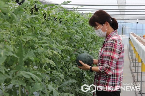 농업기술센터 관계자가 딸기 재배시설(하이베드)에서 수확한 미니수박을 보고 있다.(제공=옥천군청)