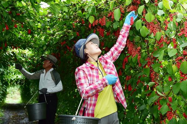 오미자재배농가에서저온과폭염을이겨낸오미자수확이한창(사진=문경시)
