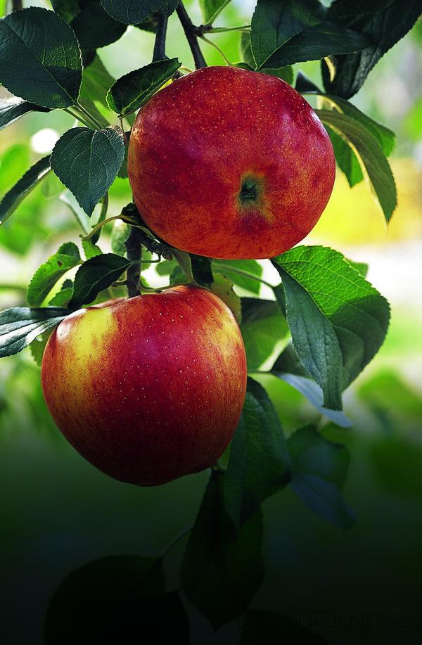 (사진제공=진안군청)사과농장의탐스러운붉은사과가수확을기다리고있다.