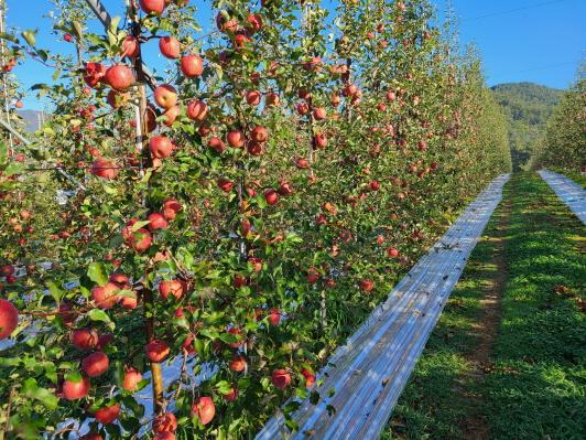수확을앞둔포항시북구죽장면정자리의사과밭전경(사진=포항시)