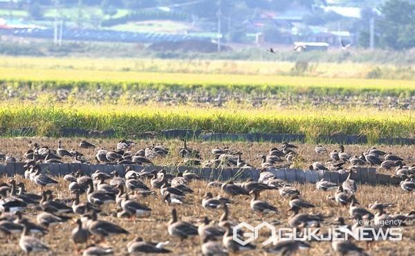 11일 천수만에서 먹이활동 중인 기러기들 모습. (사진 = 서산시 제공)