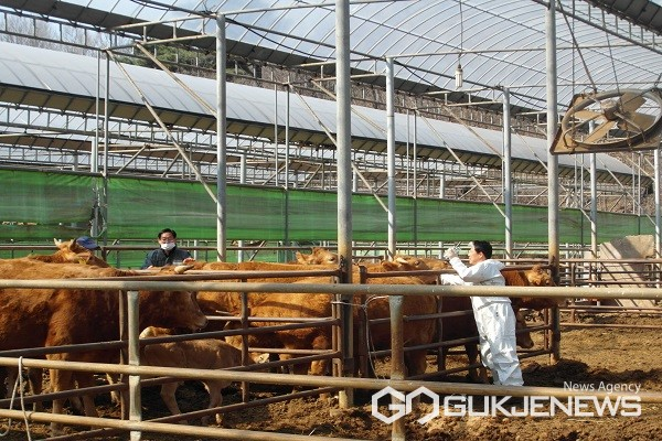 소 농가 구제역 접종 모습.(제공=옥천군청)